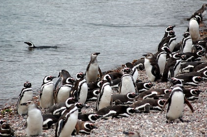 Penguins and Dolphins Watching at Punta Tombo Tour 09.jpg