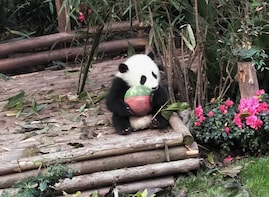 Highlight Chengdu Panda Trip and Customised Sightseeing