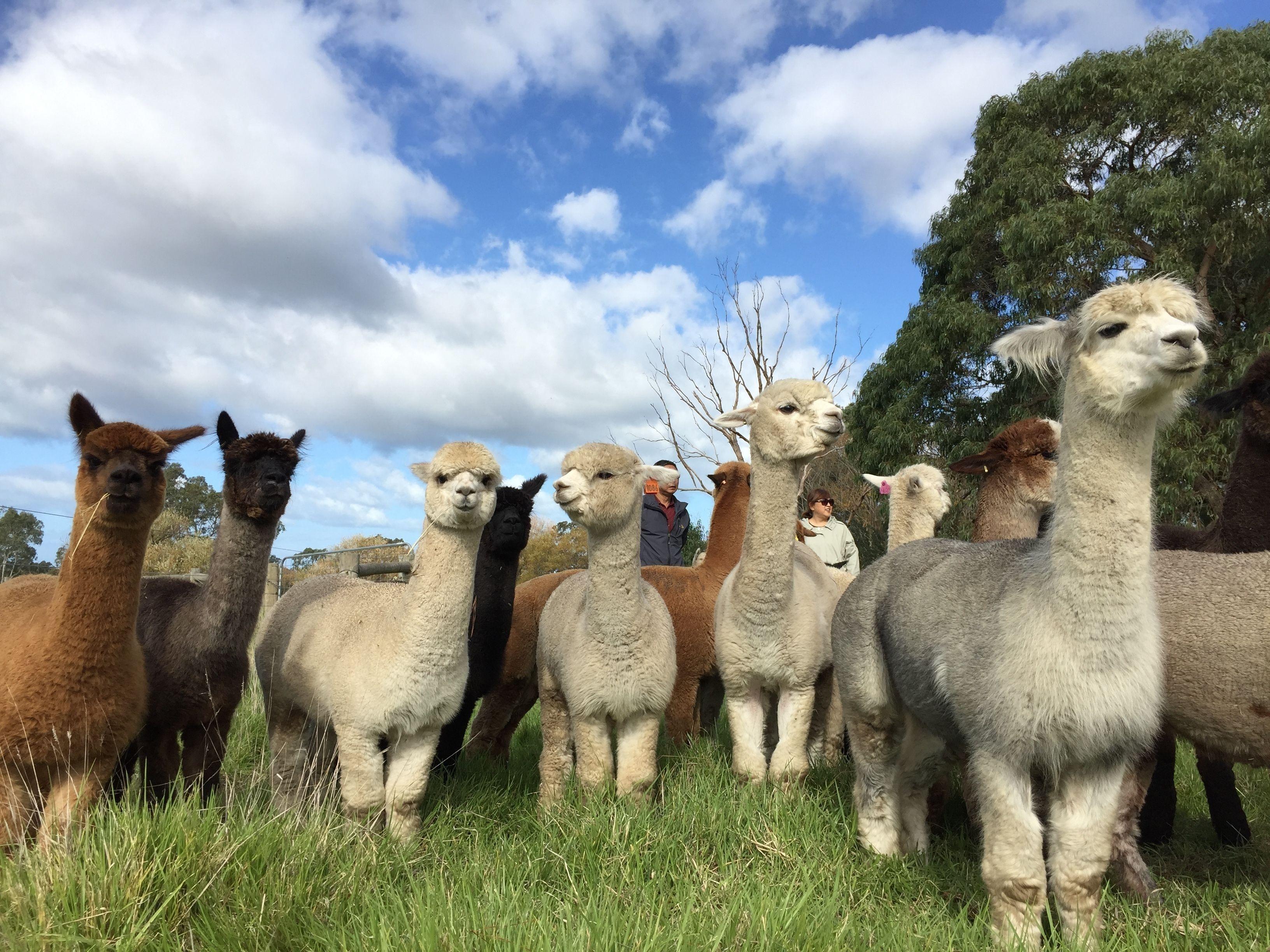 Alpaca Farm 1 Hour Tour