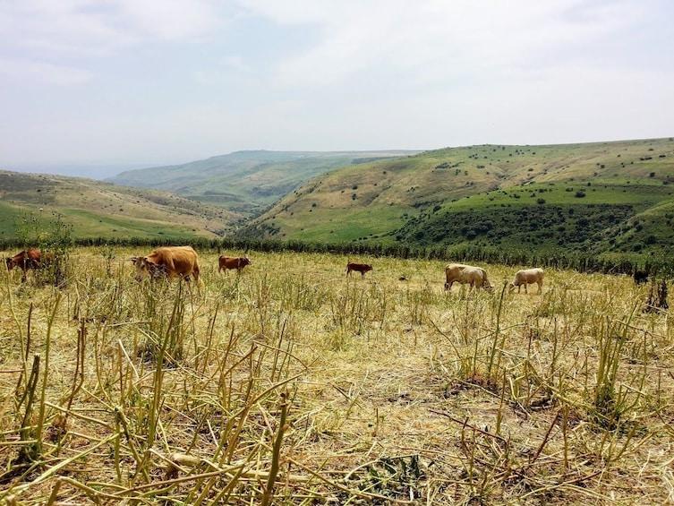 Show item 1 of 5. Livestock grazing in Golan Heights