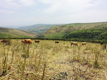 Livestock grazing in Golan Heights
