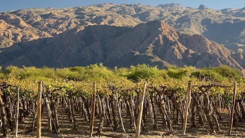 Cafayate vineyards - Classic Salta And Jujuy.jpg