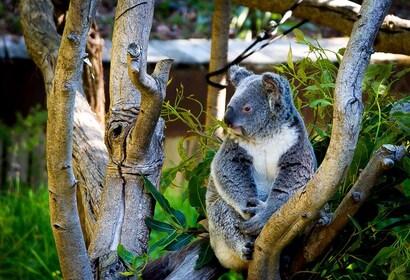 Koala sitting in a tree in Perth