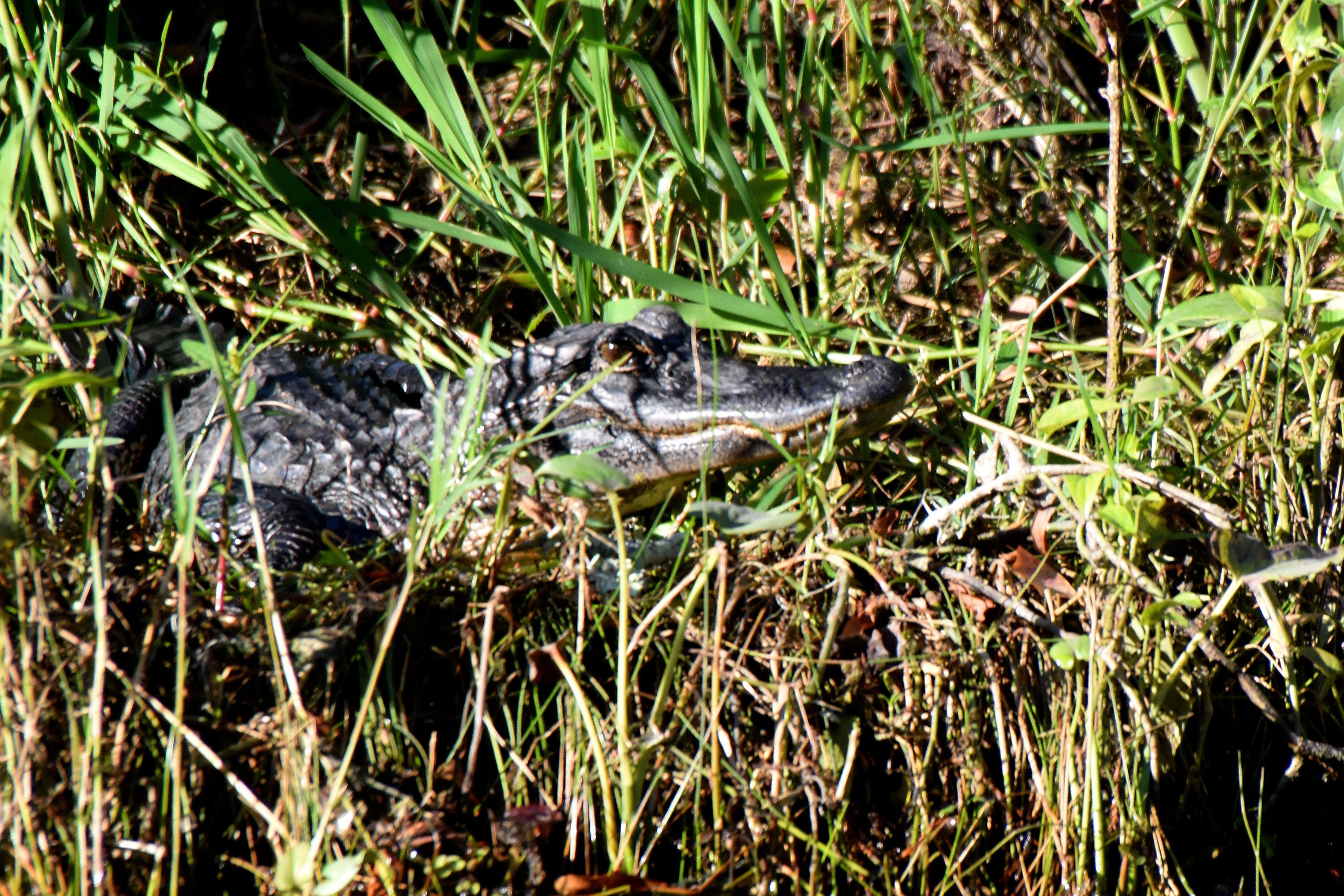 Alligator spotted in a swamp in New Orleans