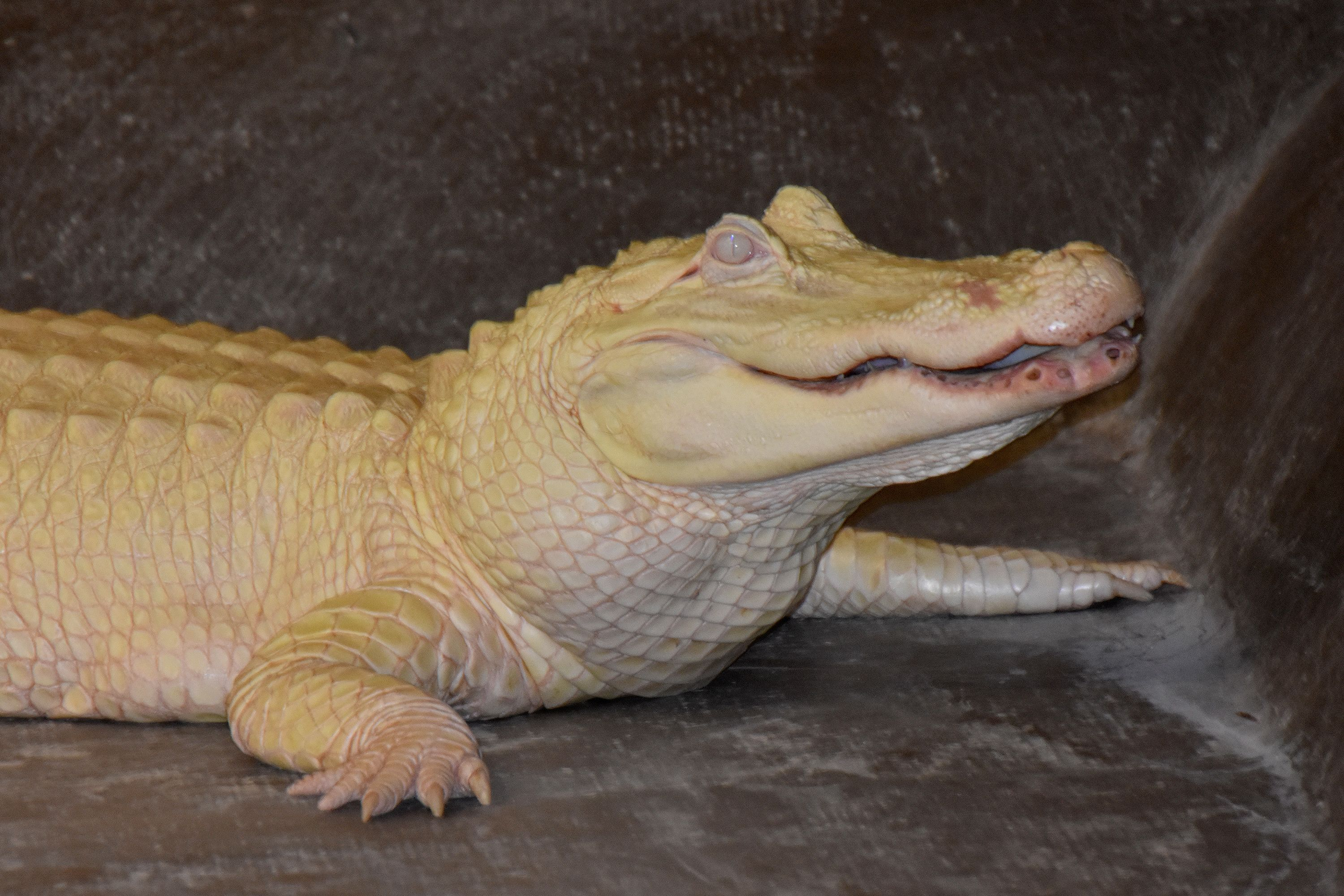 View of an albino alligator in New Orleans