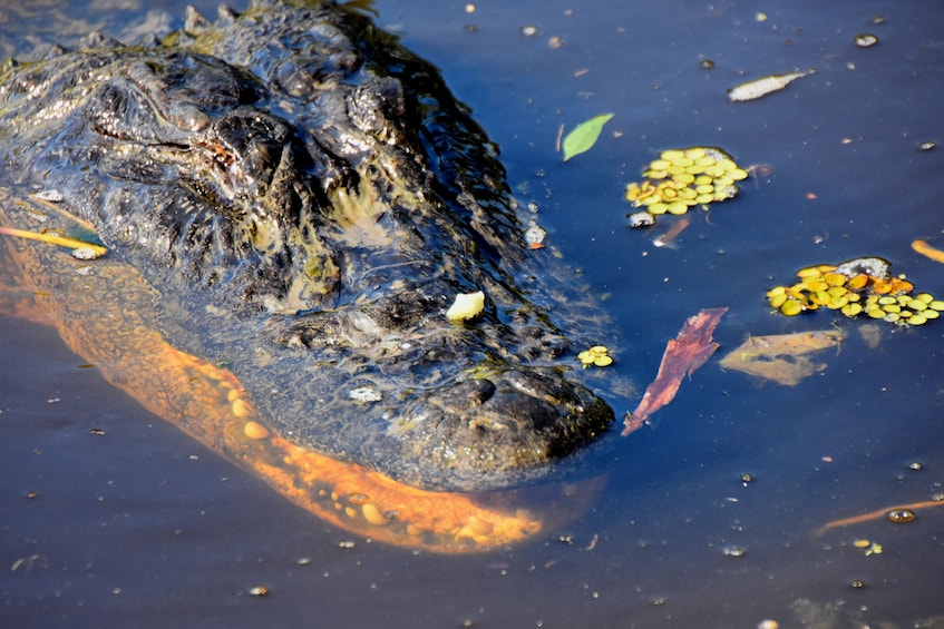 Show item 3 of 10. Close-up of an alligator seen in a swamp in New Orleans