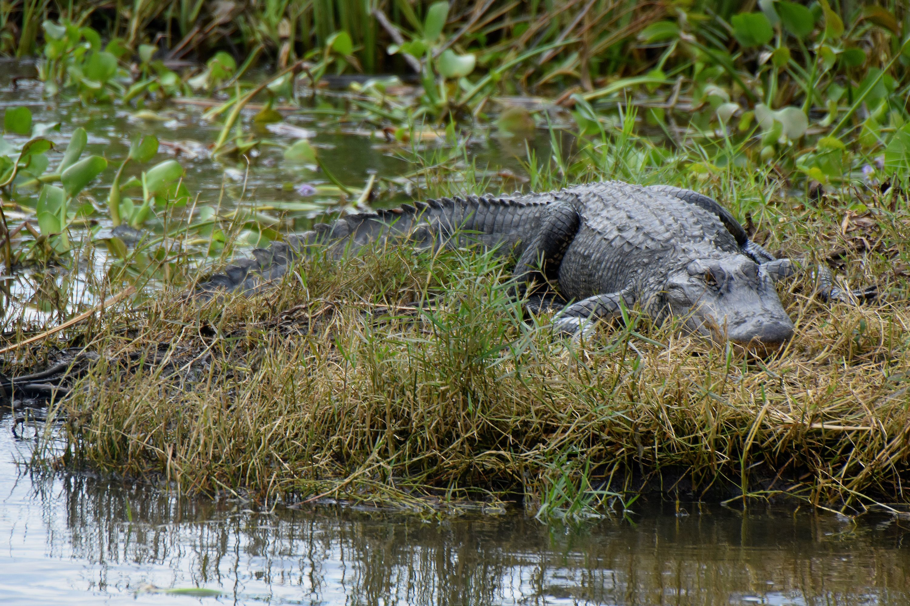 Alligator seen in a swamp in New Orleans