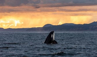 Sunset Zodiac Whale Watching (Victoria, BC)