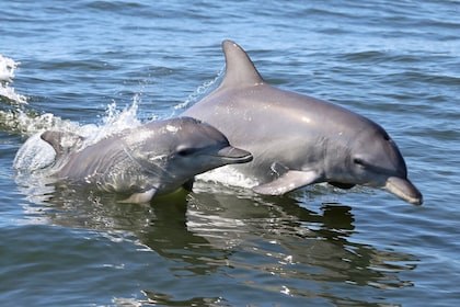 Dolphins swimming in Perth