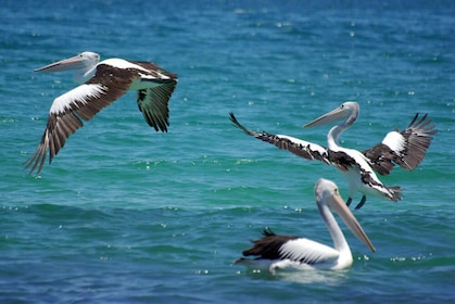Pelicans on the water in Perth