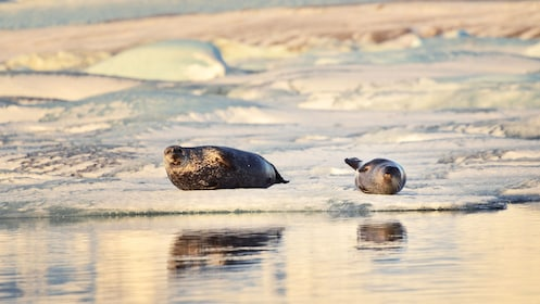 Seals on the ice in Iceland