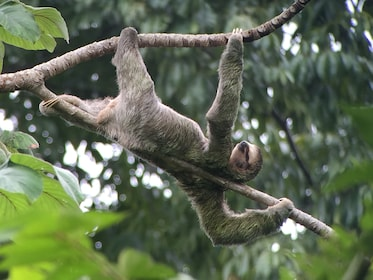 Sloth in a tree at Manuel Antonio National Park in Costa Rica