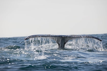 A whale's tail out of the water in New South Wales
