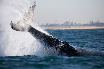Whale slapping it's tail on the water in New South Wales