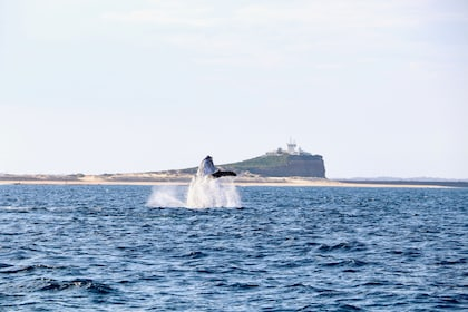 Breaching whale in New South Wales