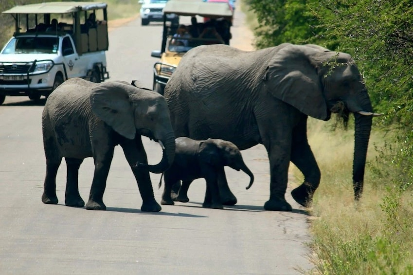 Show item 3 of 8. Elephants at Kruger National Park in J