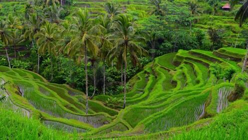 Terraced field in Bali