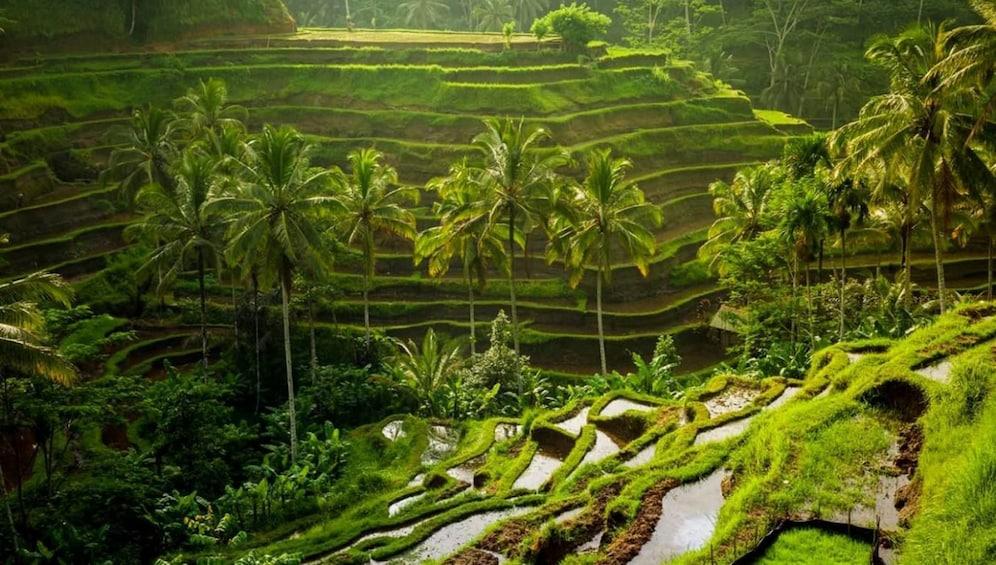 Show item 2 of 9. Terraced field in Bali