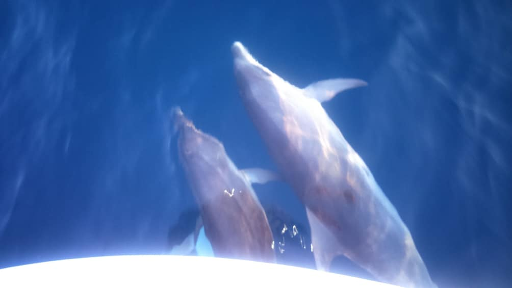Show item 1 of 4. Observation of Dolphins in their natural environment