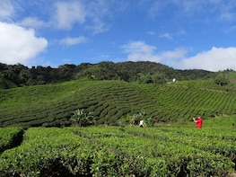 Day Tour Hill Resort Cameron Highlands Free Batu Caves (P3)