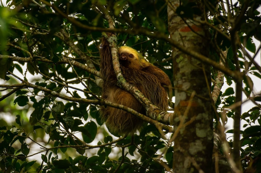 Show item 2 of 6. Sloth hangs in a tree in La Fortuna Forest in Costa Rica