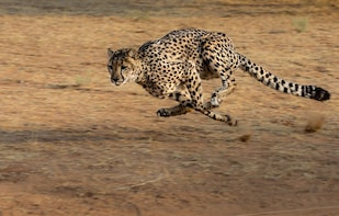 De Wildt Cheetah and Wildlife Centre Safari and Cheetah Run