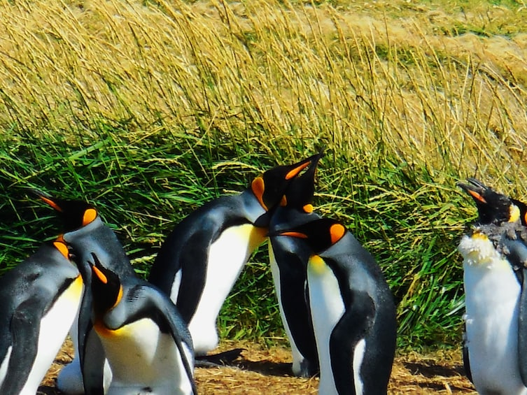 Show item 2 of 8. Group of king penguins with tall grass in the background in Chile