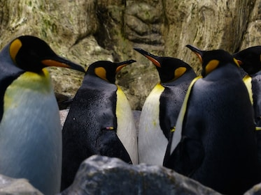 king-penguins-406539_1920.jpg