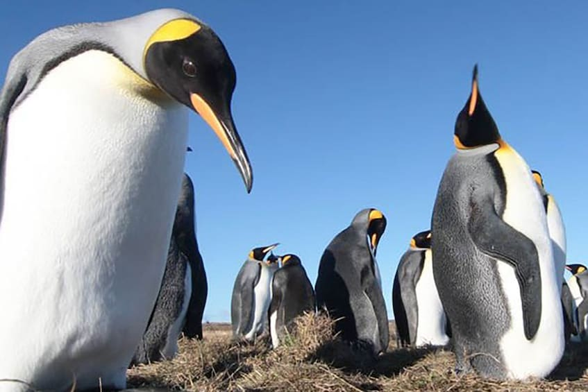 Show item 1 of 8. King penguins with blue sky in the background