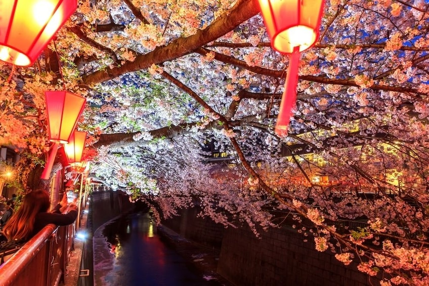 Show item 2 of 10. Lanterns hanging from cherry blossom trees in Meguro