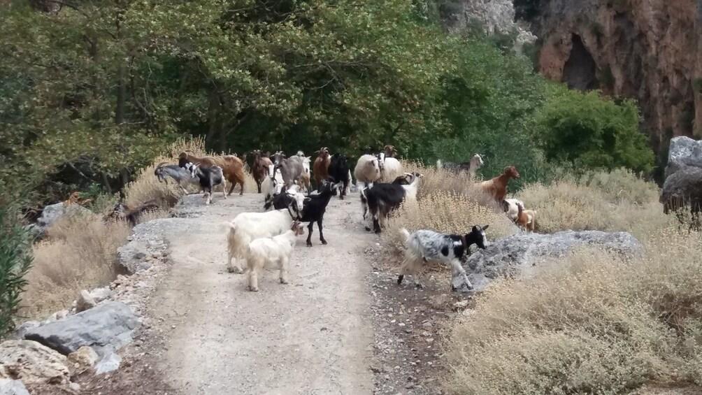 Show item 5 of 6. Animals in Crete
