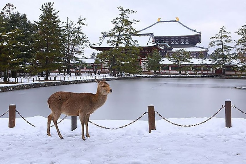 Show item 2 of 5. Deer in the snow by a pond and temple in Japan