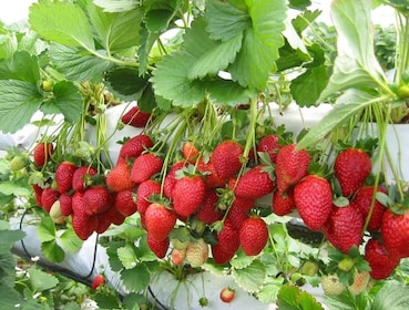 Strawberry farm in Camaron Highlands