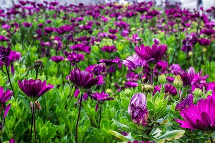 Purple flowers at the flower garden in the Camaron Highlands