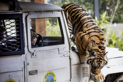 Tiger climbing on a jeep with people in it at Taronga Zoo in Sydney