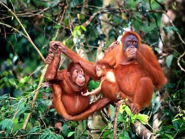 Orangutans in Ipoh