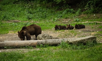 From Brasov: Small group bear watching experience