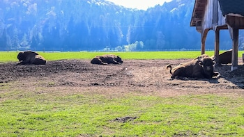 Day trip to the Buffalo Reserve near Brasov
