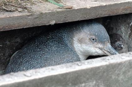 Akaroa & Banks Peninsula Wild Penguins Eco-Tour