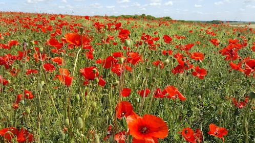 Poppies at Le Hamel.jpg