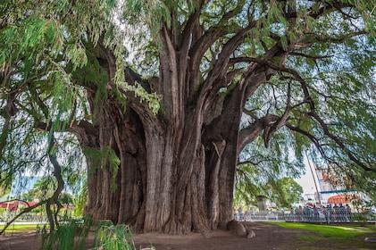 Huge banyan tree in Oaxaca