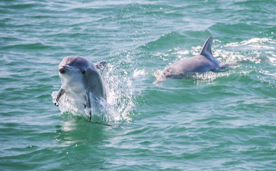 Show item 7 of 7. Dolphins in Jervis Bay