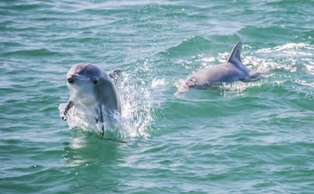 Dolphins in Jervis Bay