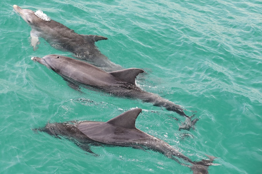 Show item 3 of 7. Dolphins in Jervis Bay