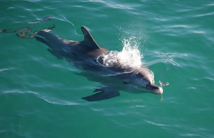 Dolphin in Jervis Bay