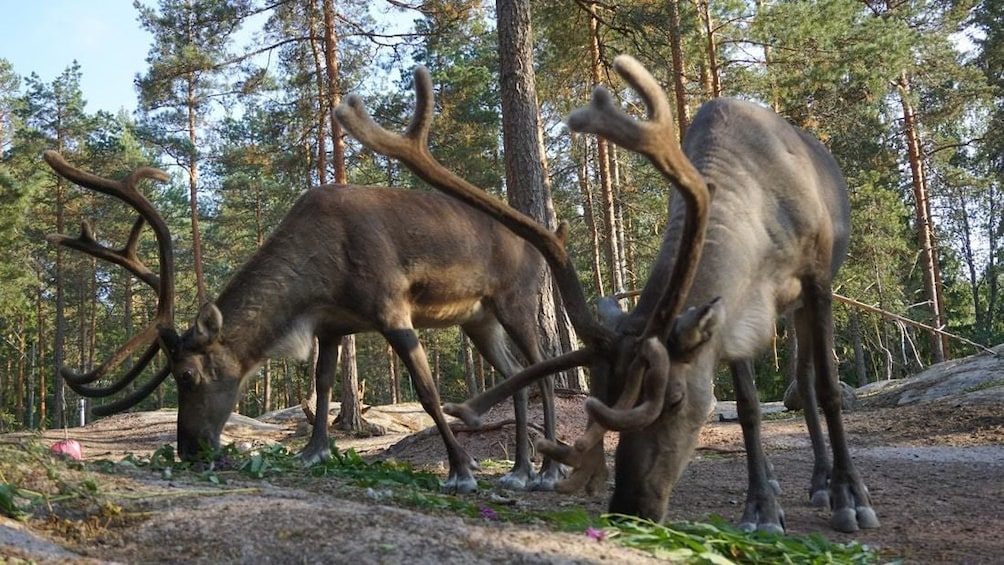 Show item 1 of 9. 5-hour sightseeing in Helsinki and Nuuksio Reindeer Park