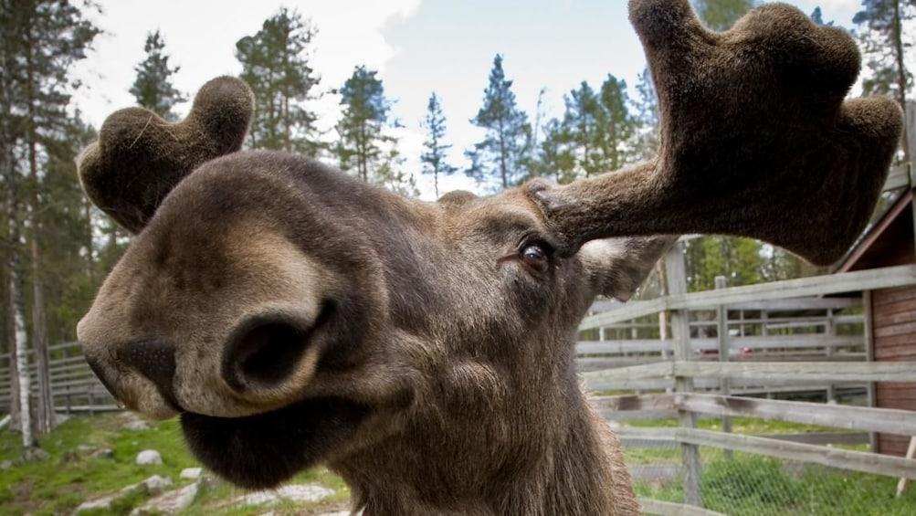 Show item 4 of 10. Rovaniemi: Summer Day in Ranua Zoo, Husky & Reindeer Farm