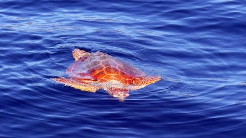 Sea turtle in Los Gigantes