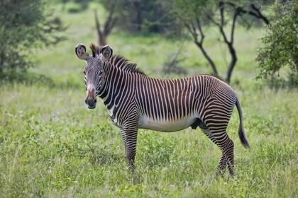 Zebra in Cape Town