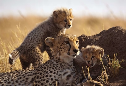 Cheetahs at Inverdoorn Game Reserve in Cape Town
